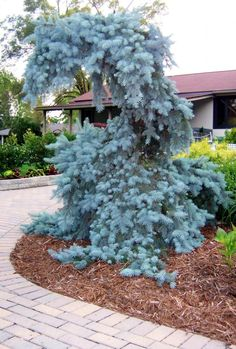 Perfect Weeping Blue Spruce Dannaher Landscaping This Would Be on Landscaping Beauty Blue Tree Landscaping Ideas Weeping Evergreen Trees, Evergreen Garden, Evergreen Shrubs, Garden Trees, Trees And Shrubs, Trees To Plant, Landscaping Plants, Front Yard Landscaping, Landscaping Ideas