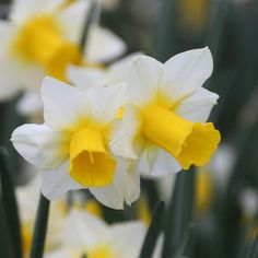 Narcissus Golden Echo - favorite daffodils that are shorter and perfect for front of the garden bed - National Garden Bureau