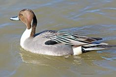 digitalmarbles posted a photo:  A Northern Pintail Drake looking colourful on the water at the George C. Reifel Migratory Bird Sanctuary Delta BC Canada