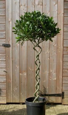 Laurus Nobilis - Bay Tree for the balcony Container Plants, Container Gardening, Bay Laurel Tree, Summer House Garden, Dream Garden, Laurus Nobilis, Patio Trees, Mediterranean Plants, Balcony Plants