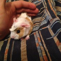 19 Guinea Pigs You Can't Believe Even Exist