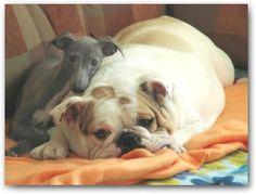italiand greyhound and bulldog