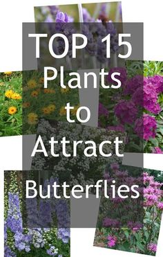 Top plants both perennial and annual to attract butterflies to your garden.