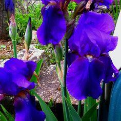 Large German bearded iris