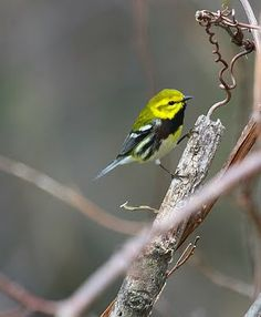 Black-throated Green Warblers were fairly common on the island. Trevor Herriot's Grass Notes: Book review and some bird photos from trip to Pelee Island.