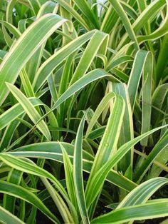 Billbergia nutans variegata Frost tolerant bromeliad