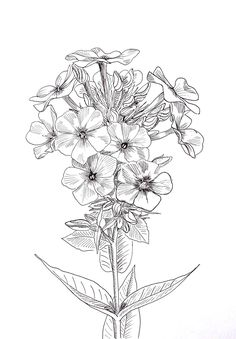 Malowanie na jedwabiu Flower Sketches, Drawing Sketches, Art Drawings, Peony Drawing, Floral Drawing, Alcohol Ink Crafts, Drawing Templates, Flower Coloring Pages, Botanical Drawings