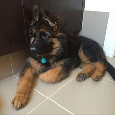 Adopting a German Shepherd Dog From An Animal Shelter Gsd Puppies, Cute Dogs And Puppies, I Love Dogs, Malinois, German Shepherd Puppies, German Shepherds, Schaefer, Shiba Inu, Cute Baby Animals