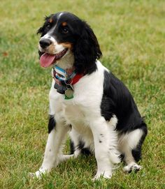 Gentle, easygoing, and very affectionate, English Springer Spaniels are a top choice for a child's pet. They're playful and love to engage in rough and tumble games. Springer Spaniels even get along well with other dogs.