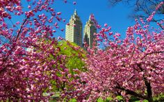 Central Park, NYC Spring pink in full swing today in Central Park ; Nyc Spring, Spring Day, Hello Spring, Spring 2014, Tavern On The Green, Pink Blossom, Cherry Blossom, I Love Ny, Dream City