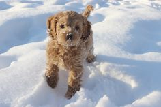 Cannot WAIT to get Wicket a playmate! Another cockapoo most likely :)