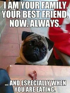 Pugs have a variety of facial expressions. For that reason, pug memes are funny and I hope these 101 dog memes featuring pugs bring a smile to your day! Funny Dog Memes, Funny Animal Memes, Cute Funny Animals, Funny Dogs, Animal Logic, Love My Dog, Pug Love, Pug Quotes, Dog Humor