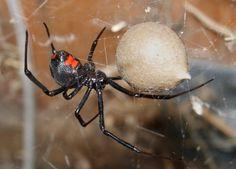 Die giftigsten Spinnen der Welt