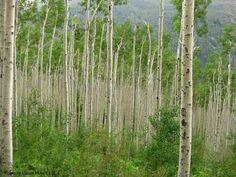 White Birch Forest, Colorado Rocky Mountains