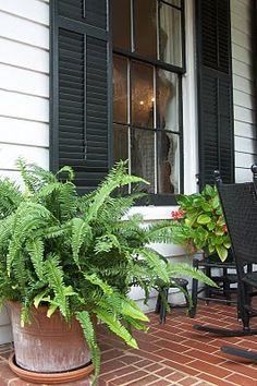 Kimberly Queen ferns. Love them