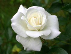 El lenguaje de las rosas | SobreFotos