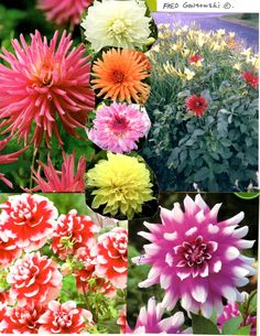 Dahlias are wonderful flowers that grace the garden with their colorful blooms from Mid Summer, until a good killing frost. Dahlias come in a wide variety of sizes and colors. Some dahlias produce …