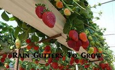 Rain Gutters To Grow Strawberries