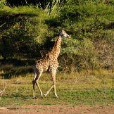 Artist: Engela Vermeulen   metal posters - Displate #Giraffe #Nature #SouthAfrica #Displate #GentleGiant