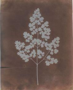 softpyramid:  William Henry Fox Talbot Adiantum Capillus-Veneris (Maidenhair Fern), c 1839Photogenic Drawing (paper negative)  8 9/10× 7 1/5inches