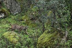 Iberian lynx - Photograph: Luke Massey