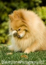Pomeranian. Omg! Pooh used to do this all the time. So cute!