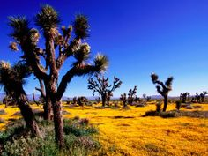 Joshua Trees and Spring Wildflowers Near Mojave Photographic Print by Douglas Steakley at AllPosters.com