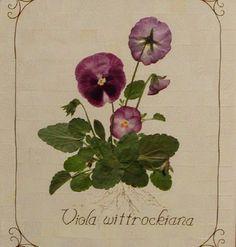 Pressed Pansy Botanical