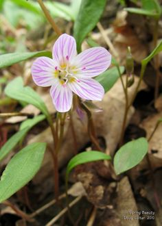 Carolina Spring Beauty (Claytonia caroliniana) • Family: Lily family (Liliaceae) • Habitat: woods, uplands • Height: 4-12 inches • Flower size: 1/2 to 3/4 inch across • Flower color: white striped with pink • Flowering time: March to May • Photo by Doug Colter