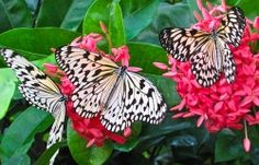 The proper name of these butterflies is Idea Leuconoe but they are commonly called by several names: tree nymph, wood nymph, paper kites, and rice paper butterflies. No matter what name you call these graceful black and white butterflies they are a delight to observe and enjoy.
