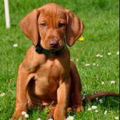 the breed Vizsla Viszla puppy, so cuteee. why can I not stop looking up dogs?Viszla puppy, so cuteee. why can I not stop looking up dogs? Weimaraner, Vizsla Puppies, Cute Puppies, Cute Dogs, Dogs And Puppies, Doggies, Vizsla Dog, Dogs 101, Beagle Mix