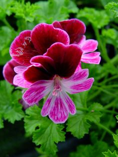 Geranium 'Berkswell Gala' Pelargonium                                                                                                                                                                                 More