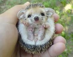 Baby hedgehog . . . so cute and funny.