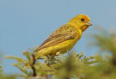 Jilguero - Pájaros argentinos