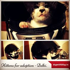 Kittens for adoption in Delhi NCR. To adopt please call 9811775290. #adoptdontshop