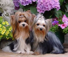 Three Colour Yorkshire Terriers
