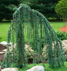 weeping cedar-I have one of these and call it my ugly tree.