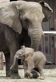 Three day old baby elephant with mother