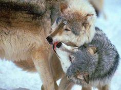 Wolf Spirit, Spirit Animal, Beautiful Creatures, Animals Beautiful, Beautiful Things, Wolf Goddess, Of Wolf And Man, Animals And Pets, Cute Animals