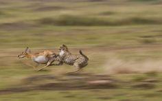 Cheetah chases gazelle, Maasai Mara, Kenya