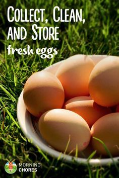 Your fresh chicken eggs could be dangerous for your family, learn how to collect, clean, and store them so it& safe to eat them. Best Egg Laying Chickens, Raising Backyard Chickens, Keeping Chickens, Pet Chickens, Urban Chickens, Best Chicken Coop, Building A Chicken Coop, Fresh Chicken, Chicken Eggs