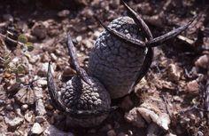 Larryleachia cactiformis | Flickr - Photo Sharing!