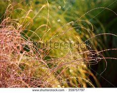 Carex comans - nature background