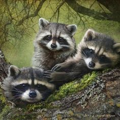 redwingjohnny:  baby racoons on forest log by R Christopher Vest
