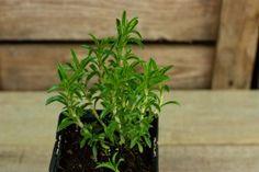 Bonenkruid (plant) - De Bascule-2
