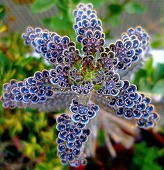 "This one is something else... it's AMAZING...  So... any guesses???  The Kalanchoe Tubiflora... Or ""Mother of Thousands""...  The bluish flower-like ""blooms"" are actually small plantlets that will fall off and start new plants...  Sometimes called the ""Chandelier plant"" because of it's it's pendulous blooms...  Either way this succulent type plant is Awe-inspiring...   P.S. Beautiful and Functional..."