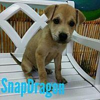 Ocala Florida Shepherd Unknown Type Meet Snapdragon A For