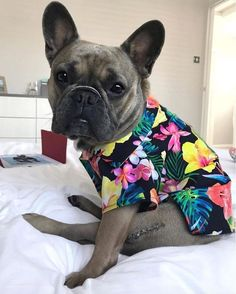Aloha Hawaiian floral print dog shirt by Dog Threads. Shop Hawaiian print shirts for dogs and a collection of button down dog shirts from our online dog boutique. Husky, Pitbull, Cute Dog Clothes, Dogs In Clothes, Hipster Dog, Dog Boutique, Dog Modeling, Outdoor Dog, Dog Boarding