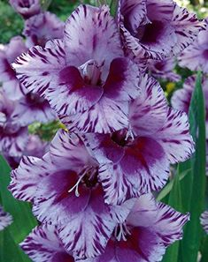 Wouldn't you love to know how to grow gladiolus? These flowers make stunning bouquets and enhance any flower garden. Exotic Flowers, Amazing Flowers, Purple Flowers, Beautiful Flowers, August Birth Month Flower, Birth Month Flowers, Gladiolus Bulbs, Gladiolus Flower, Gladioli