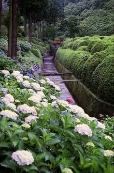 Hydrangea at Mimurotoji Garden in Uji, Kyoto, Japan...you can't have too many boxwoods in a japanese garden